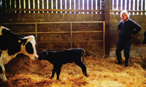Contended-Cow-2
